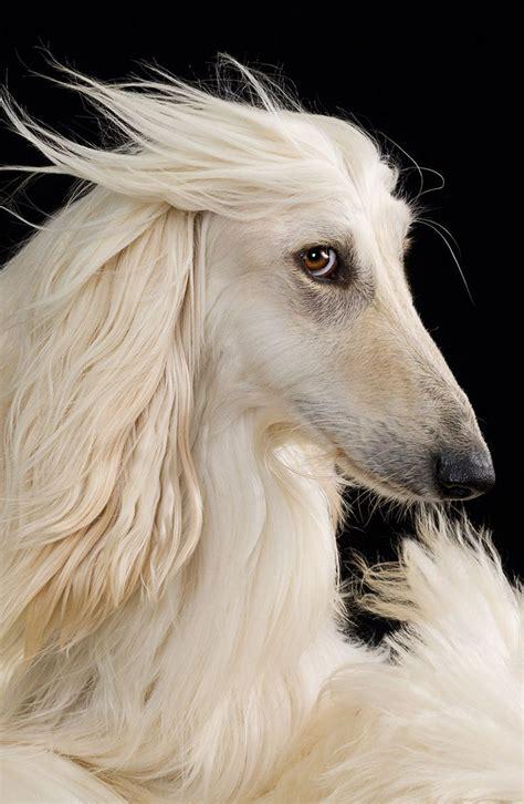 russian wolfhound puppies russian wolfhound aka borzoi borzoi