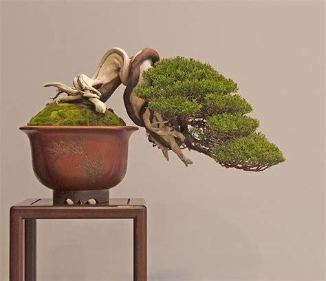yuniperus itoigawa 1 175 place kifu bonsai