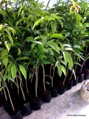 fruit plants mango grafted saplings fruit plant exporter
