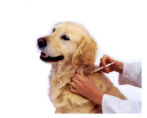 vaccines for dogs kennel cough kennel cough vaccination and prevention
