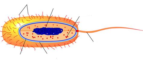 animal cell unlabeled clipartsco