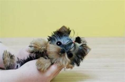 teacup yorkie for sale cheap tag for micro teacup puppies for sale cheap cheap chihuahua puppy for sale micro