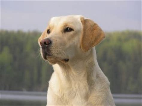 compare golden retriever and labrador retriever golden retriever vs labrador retriever breeds comparison it s always yellow