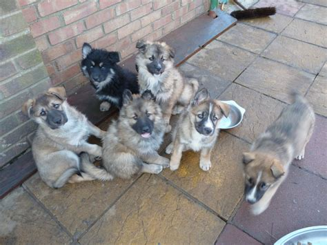 wolfdog puppies for sale wolfdog x gsd x inuit puppies for sale wisbech cambridgeshire pets4homes