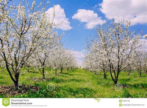 cherry tree unripe cherry blossom tree stock photo image 56905790
