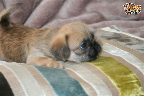bulldog x shih tzu puppies for sale frenchie x shih tzu portsmouth hshire pets4homes