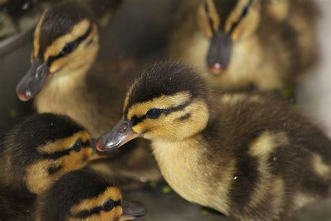 How Do Baby Ducks Need A Heat L by International Bird Rescue Every Bird Matters 187 Baby Birds