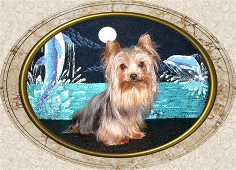 yorkie puppies for sale in alexandria la page 4 velvet touch yorkies d o b height weight information