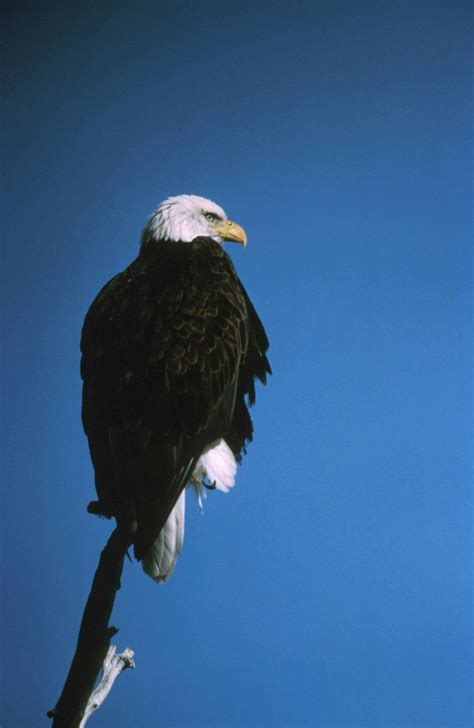 Bald Eagle Bald Eagle Back
