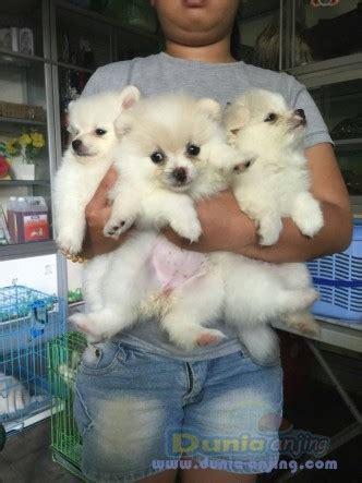Anjing Minipom Stambum dunia anjing jual anjing pomeranian dijual minipom