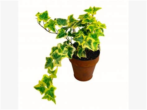 hedera helix zimmerpflanze best 25 hedera helix ideas on plants indoor