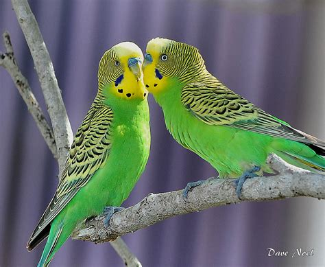parakeets | Birds by Dave