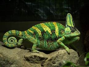 chameleon changing color chameleon info facts and new photos the wildlife