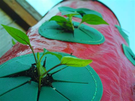 Topsy Turvy Pepper Planter by Growing Peppers In A Topsy Turvy Strawberry Planter