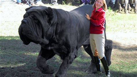 10 Biggest Dogs in the World | Fotolip.com Rich image and ... Largest Dog In The World 2014