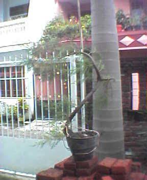Bakalan Bonsai Cemara Udang jual bakalan bonsai cemara udang