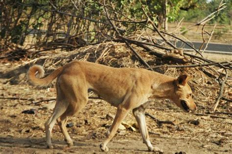 indian pariah indian pariah dogs breed information history and facts pets world