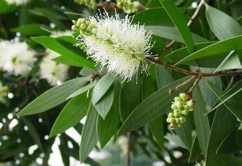 ekogeo kayu putih tumbuhan penghasil minyak kayu putih