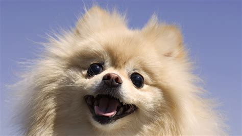 pomeranian do dogs pomeranian wallpaper 1920x1080 wallpoper 419882
