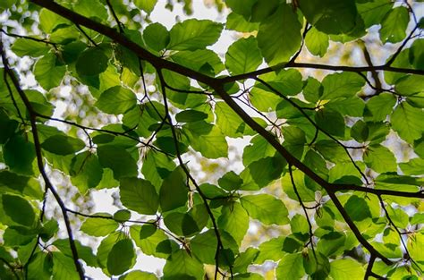 green is the new black www copperbeech com au indoor free photo leafs spring green fresh beech free