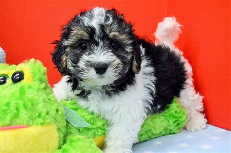 royal flush havanese royal flush havanese puppies for sale