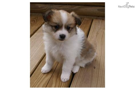 miniature american eskimo pomeranian american eskimo pomeranian puppies pictures to pin on pinsdaddy