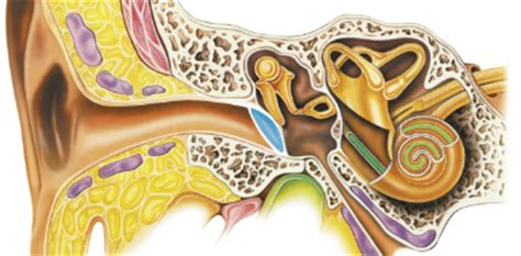 patologie dell orecchio interno audiology infos