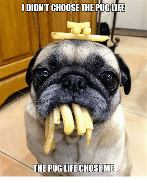 is a pug the right for me 25 best memes about the pug chose me the pug chose me memes