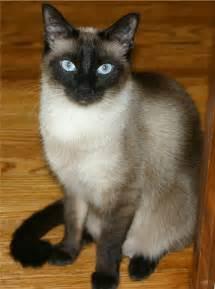 Siamese Rescue Adopt A Siamese Adopt A Cat Allpaws