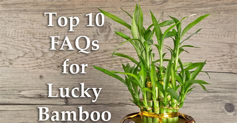 Usda Home Search top 10 faq for lucky bamboo my garden life