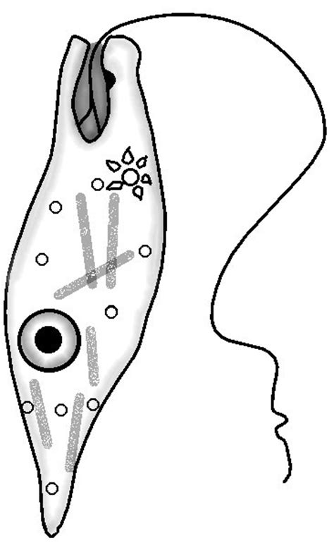 coloring pages euglena euglena coloring diagram labeled coloring pages