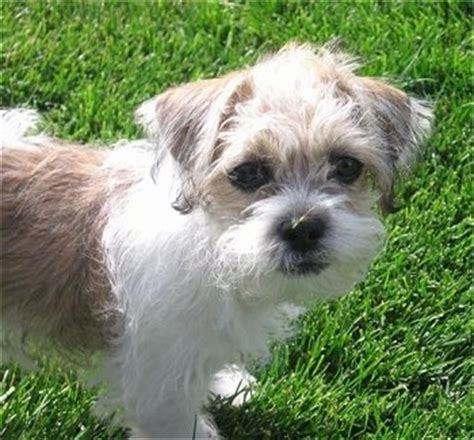 shih tzu and terrier mix fo tzu breed information and pictures