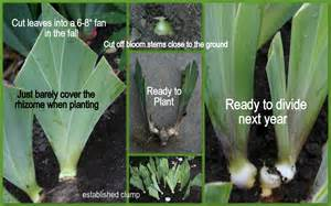 the time to plant or divide tall bearded iris sowing the