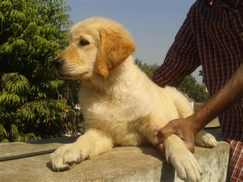 price of golden retriever in rupees golden retriever puppies for sale awesh 1 15813 dogs for sale price of puppies