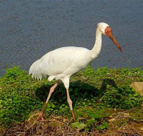 siberian crane siberian crane birds of india bird world