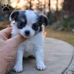 chihuahua puppies for sale in arkansas chihuahua puppies for sale chihuahua breed info greenfield puppies