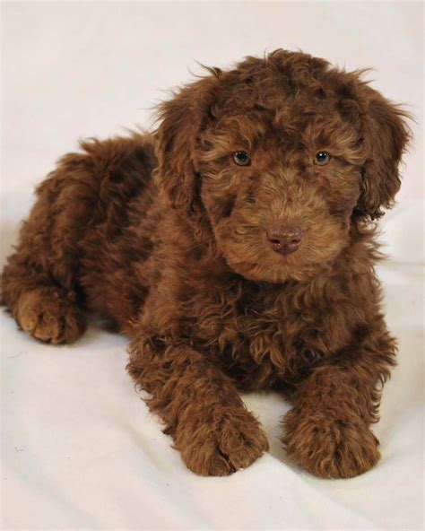 labradoodle puppy goldendoodle labradoodle breeders kennels breeds picture