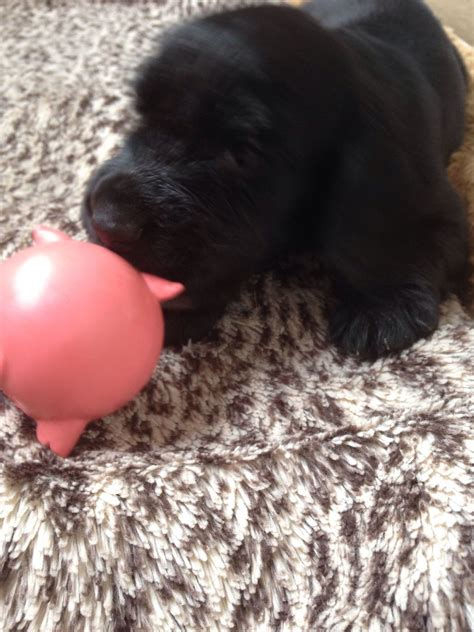 field spaniel puppies for sale field spaniel puppies for sale hitchin hertfordshire pets4homes