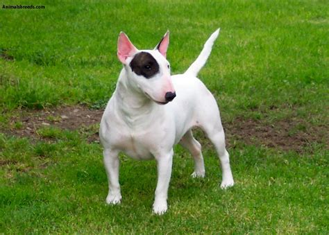 bull terrier miniature the life of animals miniature bull terrier pictures information