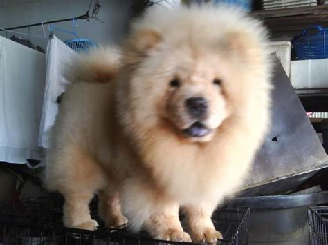 teacup chow chow puppies for sale teacup chow chow quotes