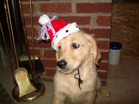 golden retriever breeders new brunswick golden retriever puppies ready to go for sale adoption from aderson settlement new