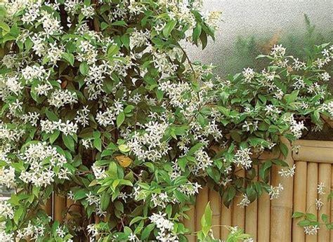 piante da giardino perenni fiorite piante ricanti fiorite ricanti piante ricanti