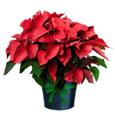 Stelan Next Flower poinsettia in pot gallery yopriceville high quality