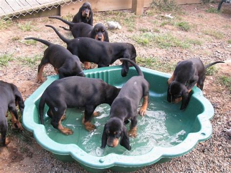 black and coonhound puppy black and coonhound puppies breeds picture
