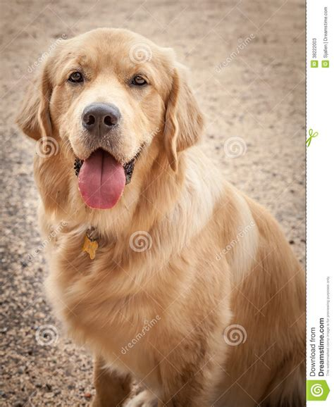 golden retriever black tongue golden retriever sitting on a path with tongue out stock photos image 38222003