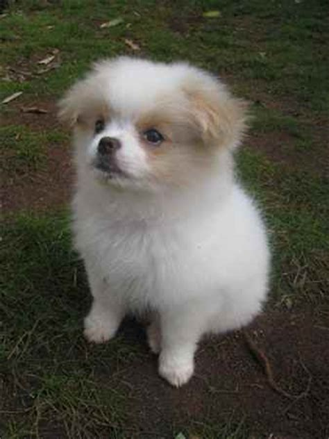 japanese chin x pomeranian more chineranian pictures