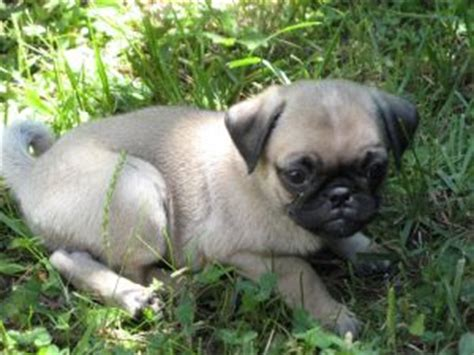 pug breeders in california cheap pug puppies for sale in california