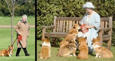 the queen s corgis queen elizabeth swore no more dogs then this corgi