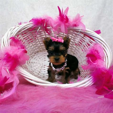 miniture yorkie puppies mini yorkie puppy for sale teacup yorkies sale