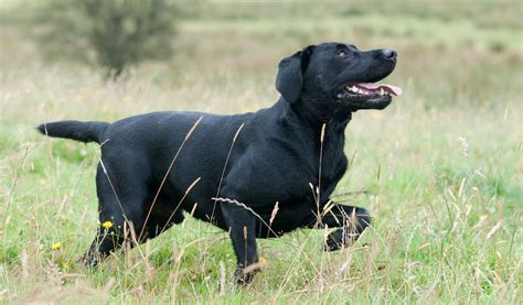 how to labrador in how to exercise your labrador